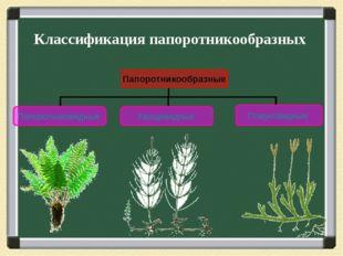 Классификация папоротникообразных Папоротникообразные Папоротниковидные Хвоще