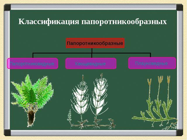 Классификация папоротникообразных Папоротникообразные Папоротниковидные Хвоще...