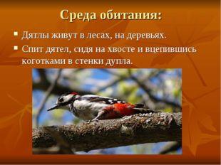 Среда обитания: Дятлы живут в лесах, на деревьях. Спит дятел, сидя на хвосте