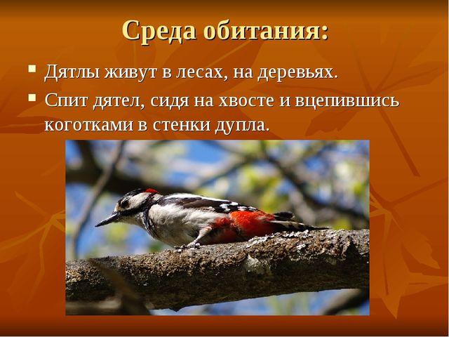 Среда обитания: Дятлы живут в лесах, на деревьях. Спит дятел, сидя на хвосте...