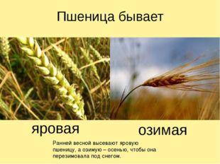 Пшеница бывает яровая озимая Ранней весной высевают яровую пшеницу, а озимую