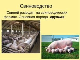 Свиноводство Свиней разводят на свиноводческих фермах. Основная порода- крупн