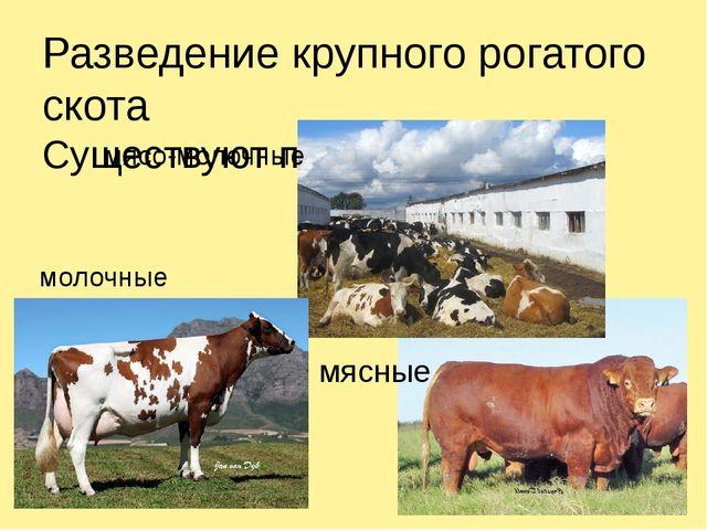Разведение крупного рогатого скота Существуют породы: молочные мясо-молочные...