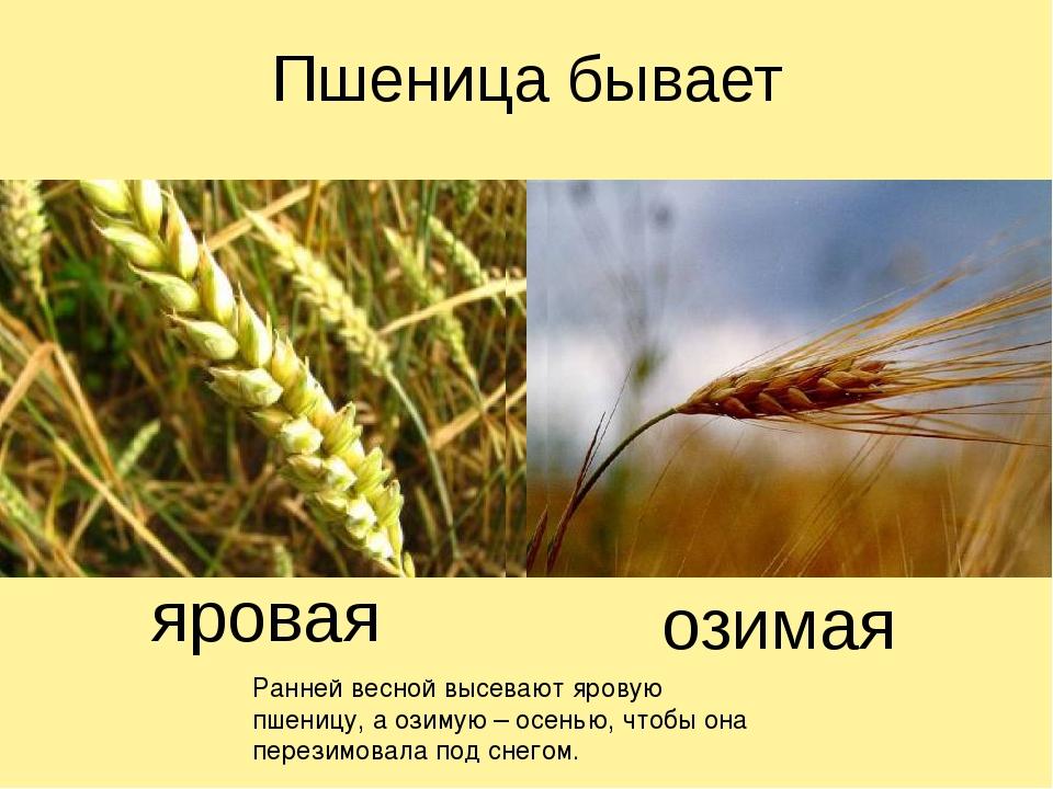 Пшеница бывает яровая озимая Ранней весной высевают яровую пшеницу, а озимую...