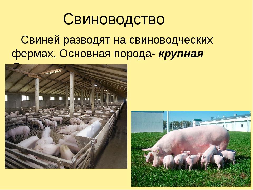 Свиноводство Свиней разводят на свиноводческих фермах. Основная порода- крупн...