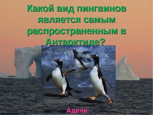 Какой вид пингвинов является самым распространенным в Антарктиде? Адели