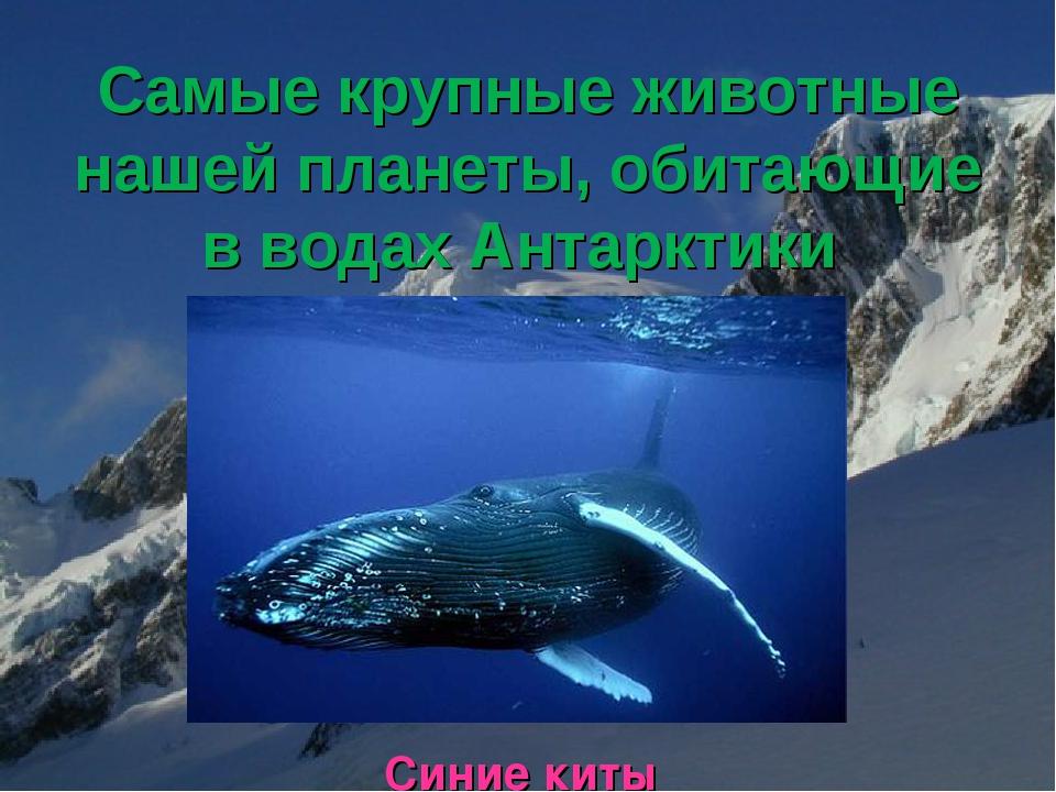 Самые крупные животные нашей планеты, обитающие в водах Антарктики Синие киты