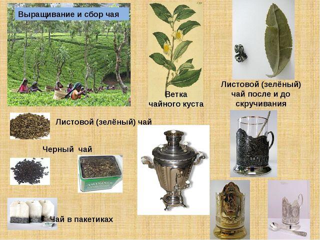 Ветка чайного куста Выращивание и сбор чая Листовой (зелёный) чай после и до...