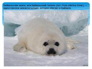 Байкальская нерпа, или байкальский тюлень (лат.Pusa sibirica GmeL) — единств