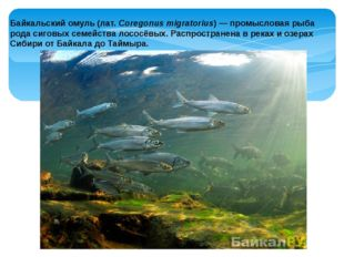 Байкальскийомуль (лат.Coregonus migratorius) — промысловая рыба рода сиговы