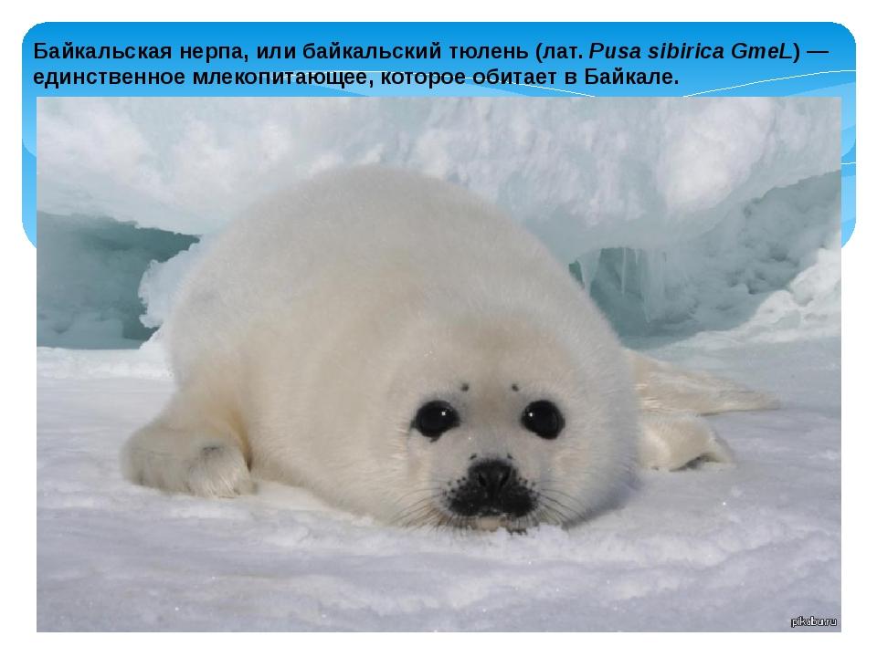 Байкальская нерпа, или байкальский тюлень (лат.Pusa sibirica GmeL) — единств...