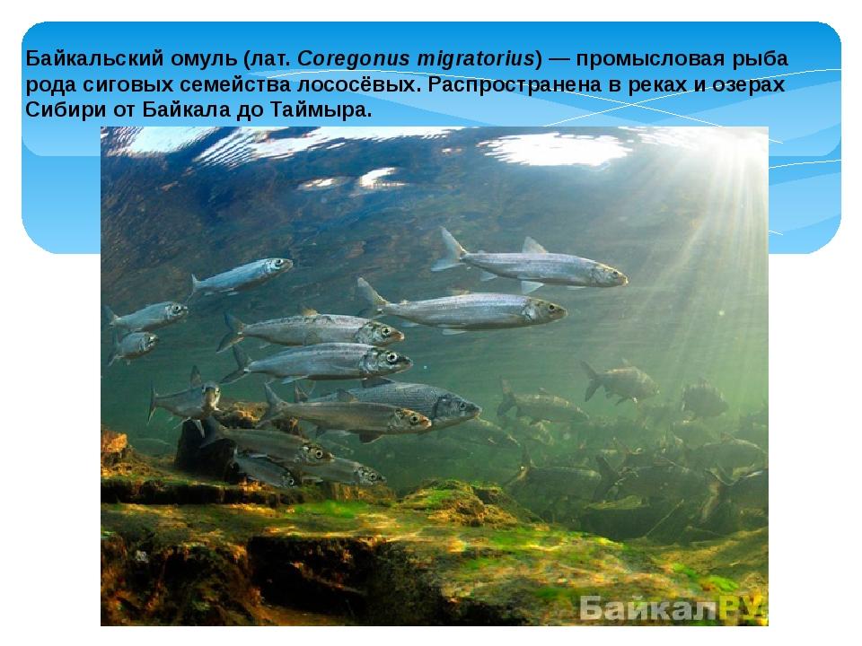 Байкальскийомуль (лат.Coregonus migratorius) — промысловая рыба рода сиговы...