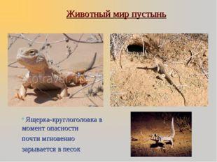 Животный мир пустынь Ящерка-круглоголовка в момент опасности почти мгновенно