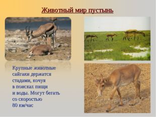 Крупные животные сайгаки держатся стадами, кочуя в поисках пищи и воды. Могу