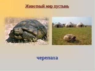 Животный мир пустынь черепаха