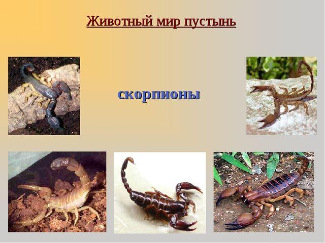 Животный мир пустынь скорпионы