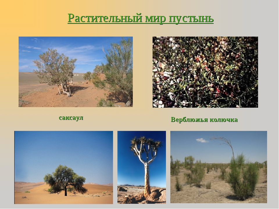 Растительный мир пустынь саксаул Верблюжья колючка