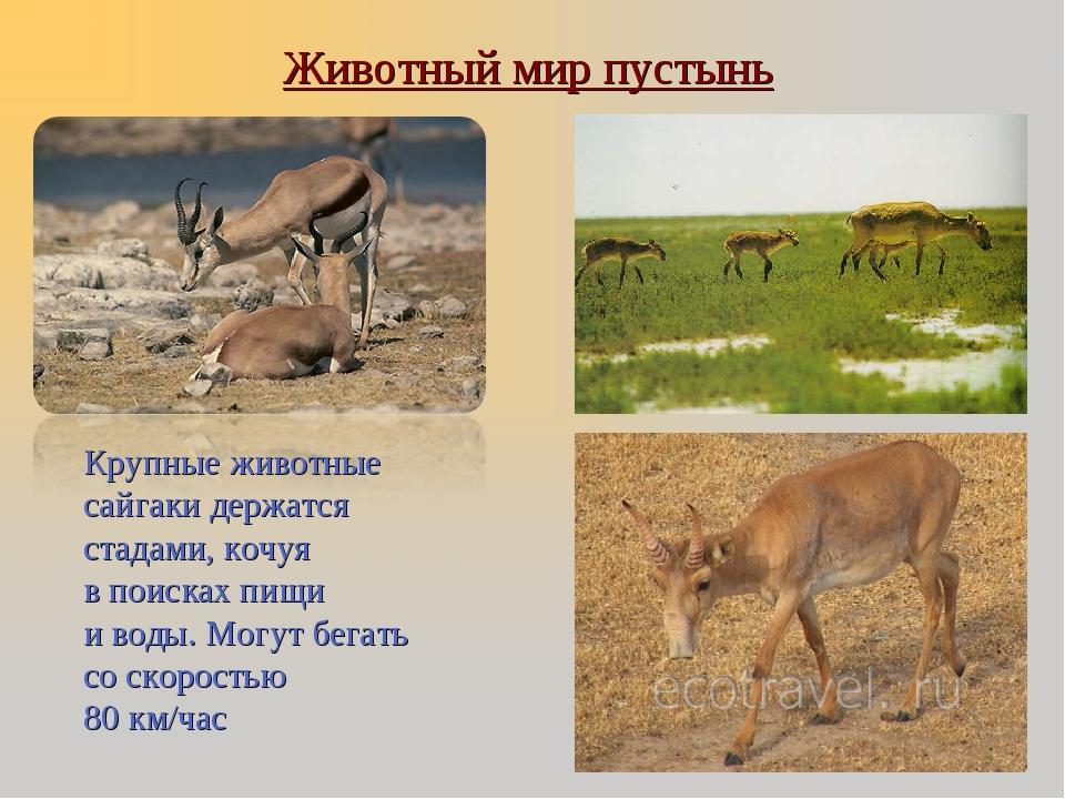 Крупные животные сайгаки держатся стадами, кочуя в поисках пищи и воды. Могу...