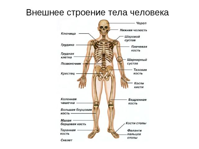 Внешнее строение тела человека