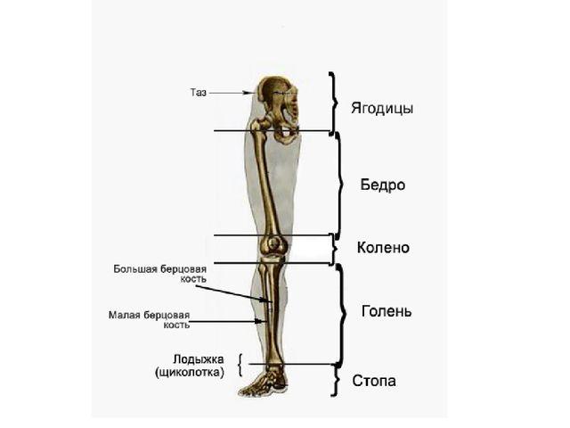 части ноги человека фото с описанием спортсмен хочу