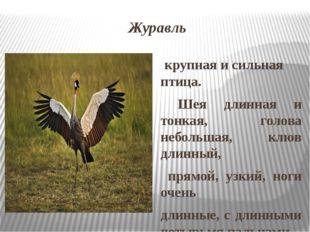 Журавль крупная и сильная птица. Шея длинная и тонкая, голова небольшая, клюв