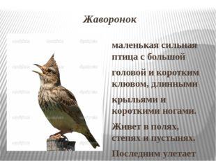 Жаворонок маленькая сильная птица с большой головой и коротким клювом, длинны