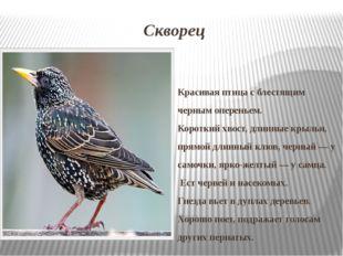 Скворец Красивая птица с блестящим черным опереньем. Короткий хвост, длинные
