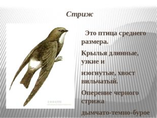 Стриж Это птица среднего размера. Крылья длинные, узкие и изогнутые, хвост ви