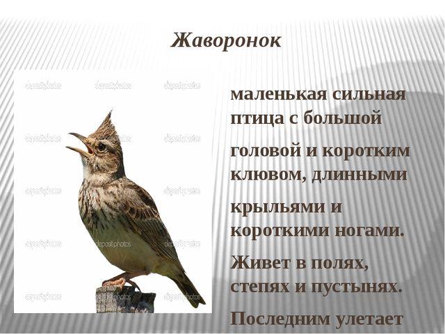 Жаворонок маленькая сильная птица с большой головой и коротким клювом, длинны...