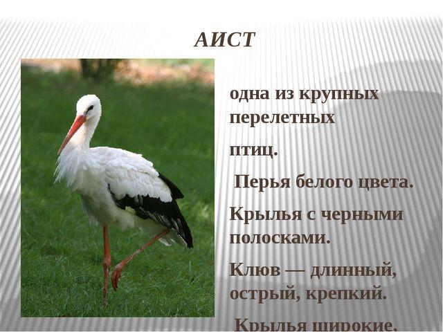 АИСТ одна из крупных перелетных птиц. Перья белого цвета. Крылья с черными по...