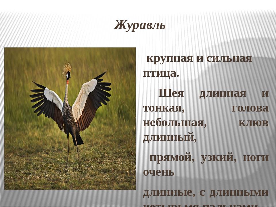 Журавль крупная и сильная птица. Шея длинная и тонкая, голова небольшая, клюв...