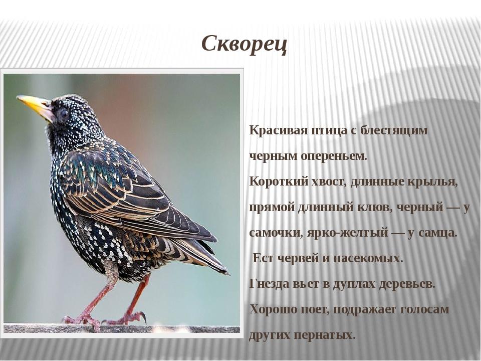 Скворец Красивая птица с блестящим черным опереньем. Короткий хвост, длинные...
