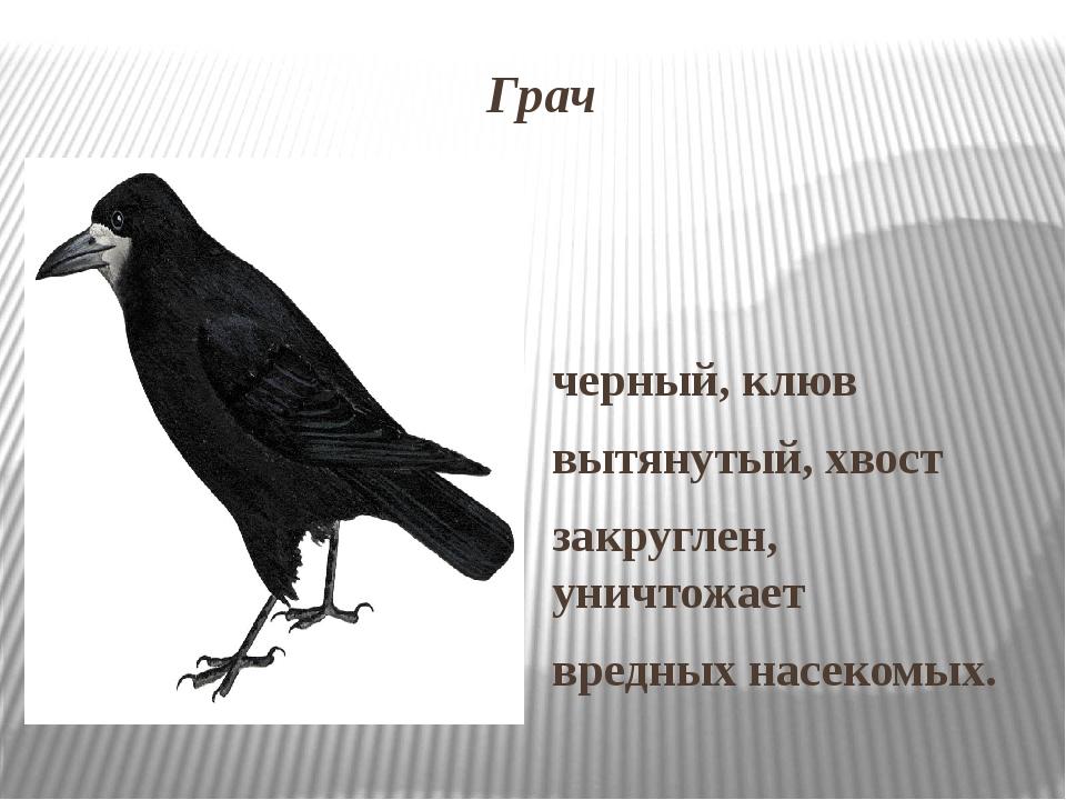 Грач черный, клюв вытянутый, хвост закруглен, уничтожает вредных насекомых.