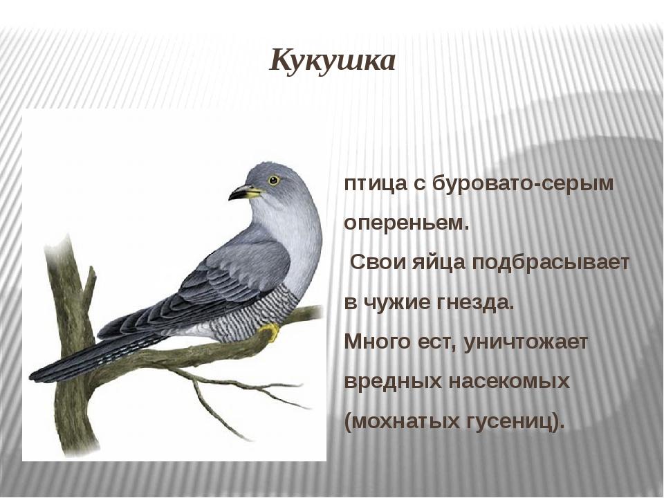 Кукушка птица с буровато-серым опереньем. Свои яйца подбрасывает в чужие гне...
