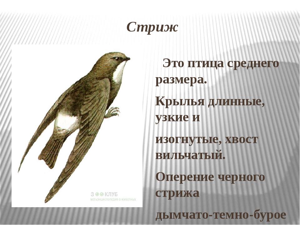 Стриж Это птица среднего размера. Крылья длинные, узкие и изогнутые, хвост ви...