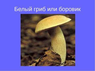 Белый гриб или боровик