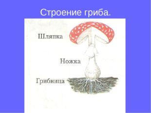 Строение гриба.