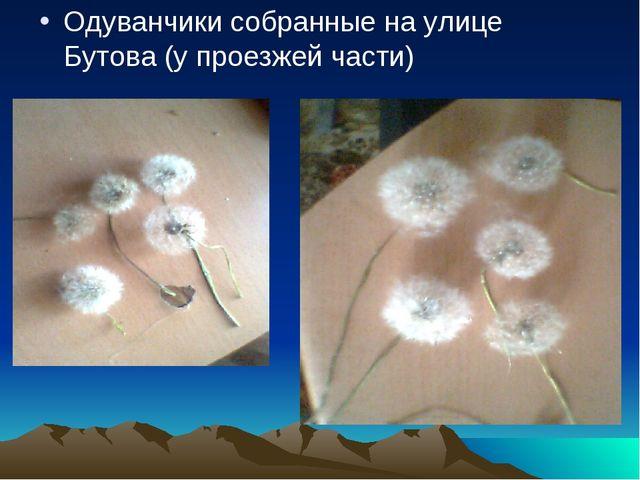 Одуванчики собранные на улице Бутова (у проезжей части)