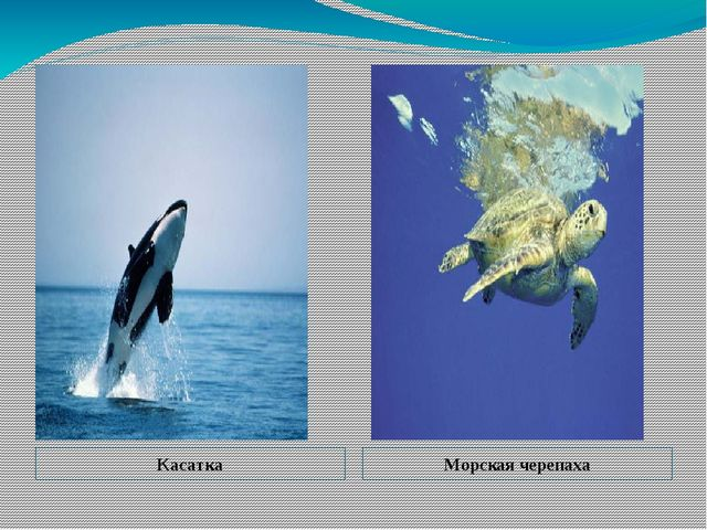 Касатка Морская черепаха