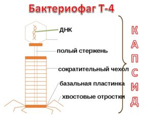 ДНК головка полый стержень сократительный чехол базальная пластинка хвостовые