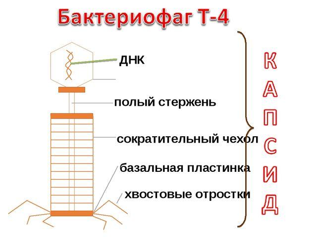 ДНК головка полый стержень сократительный чехол базальная пластинка хвостовые...