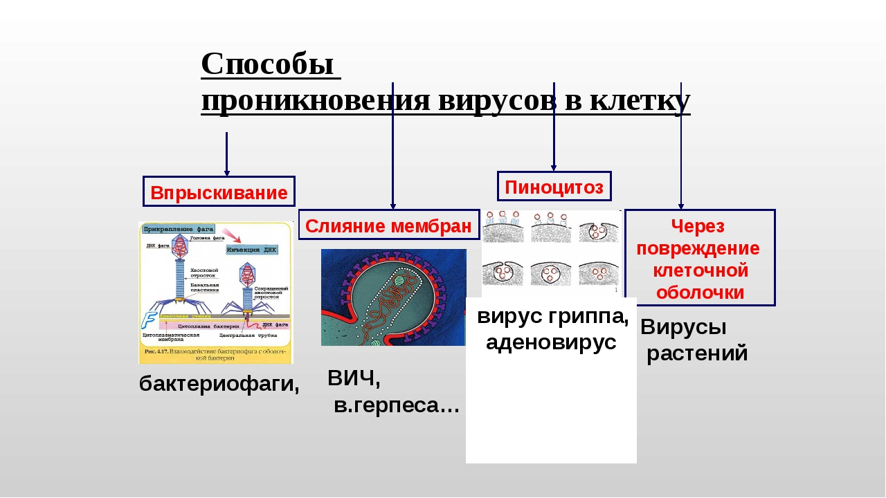 Способы проникновения вирусов в клетку Впрыскивание Слияние мембран Пиноцитоз...
