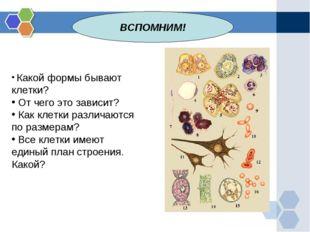 ВСПОМНИМ! Какой формы бывают клетки? От чего это зависит? Как клетки различаю