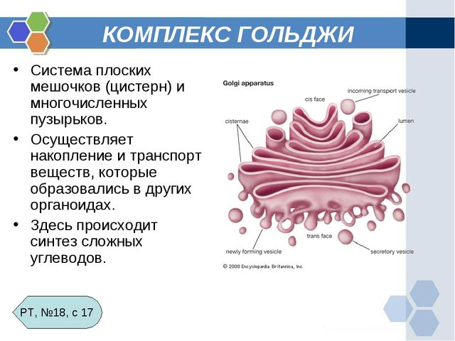 КОМПЛЕКС ГОЛЬДЖИ Система плоских мешочков (цистерн) и многочисленных пузырько...