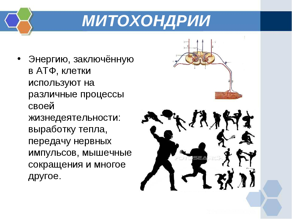 МИТОХОНДРИИ Энергию, заключённую в АТФ, клетки используют на различные процес...