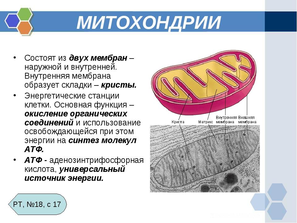 МИТОХОНДРИИ Состоят из двух мембран – наружной и внутренней. Внутренняя мембр...