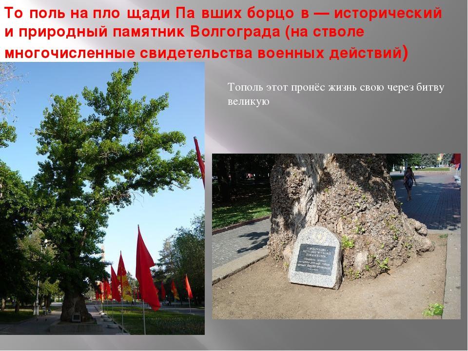 То́поль на пло́щади Па́вших борцо́в— исторический и природный памятник Волго...