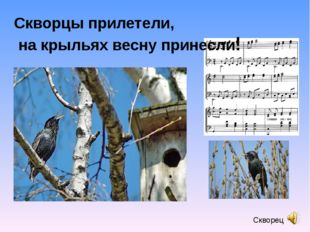 Скворец Скворцы прилетели, на крыльях весну принесли!