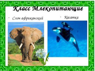 Класс Млекопитающие Слон африканский Касатка