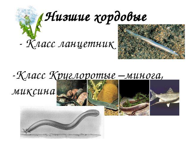 Низшие хордовые - Класс ланцетник -Класс Круглоротые –минога, миксина